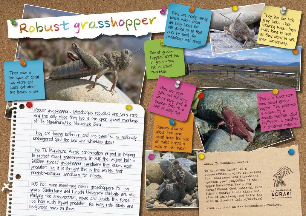 Te Manahuna Aoraki robust grasshopper poster